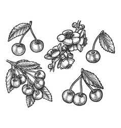 cherry hand drawn sketch farm and forest fruits vector image