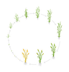 Circular life cycle rye grain growth stages of vector