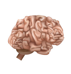 realistic detailed 3d human brain internal organ vector image