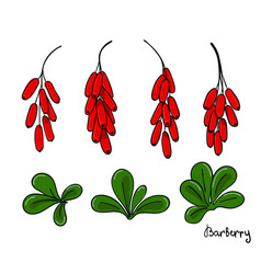 a set of isolated barberry elements bunches of vector image