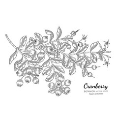 cranberry fruit hand drawn botanical with line vector image