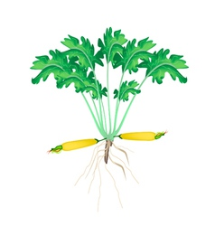 A Fresh Yellow Zucchini Plant on White Background vector image