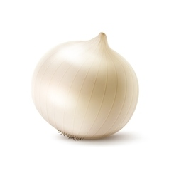 Fresh Whole White Onion Bulb Close up vector
