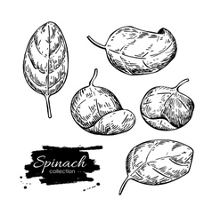 Spinach leaves hand drawn set Isolated vector image vector image