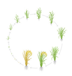 Circular life cycle rice growth stages rice vector