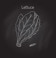 Salad lettuce hand drawn vegetable vector