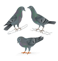 Carriers pigeons domestic breeds sports birds vector