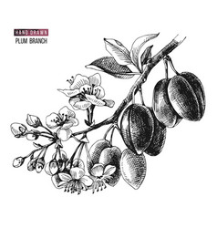 hand drawn plum branch vector image