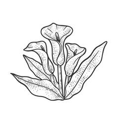 arum flower plant sketch vector image