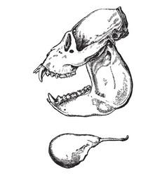Howling monkey skull vintage vector