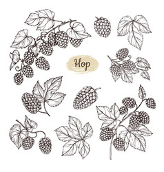 hop plant branch with leaves and lump of hops in vector image