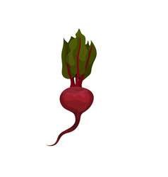 flat icon of big ripe beet with root and vector image