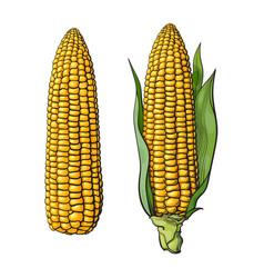 Set of ripe corn cobs vector