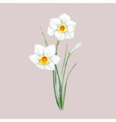 Watercolor white daffodil flower vector