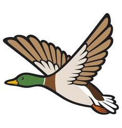 Mallard duck flying vector