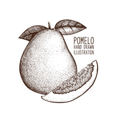 ink hand drawn pomelo sketch vector image