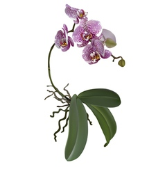 Realistic of phalaenopsis vector image