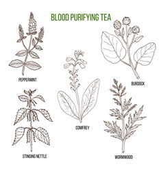 Best herbs for blood purifying tea vector