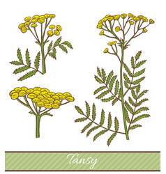 Colored tansy in hand drawn style vector