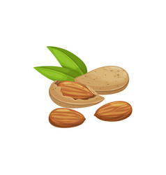 edible seed almond nut isolated shelled drupes vector image