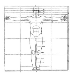 Proportions of human figure vintage vector