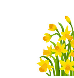 spring narcissus vector image