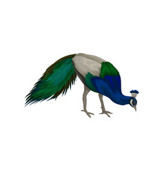 gorgeous peacock with blue gray and green vector image