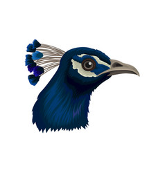 Peacock s head with crest beautiful wild bird vector