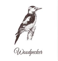 Woodpecker sketch vector