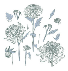 japanese chrysanthemum set collection with hand vector image vector image