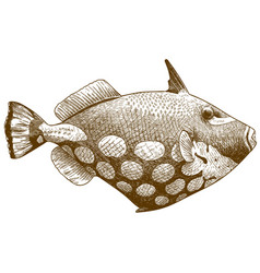 engraving antique clown triggerfish vector image