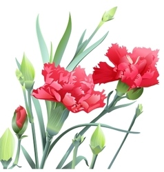 Bouquet of carnation flowers isolated on white vector image