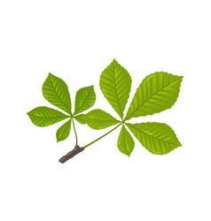 Green leaves chestnut tree springtime vector