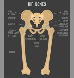 human hip bones vector image