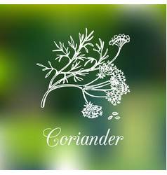 coriander hand drawn vector image