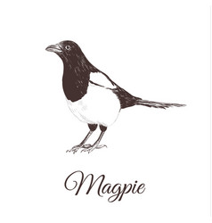 Magpie sketch vector