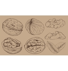 Walnut on white background isolated nuts vector