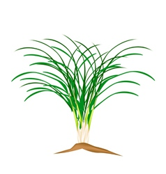 A Fresh Lemon Grass Plant on White Background vector