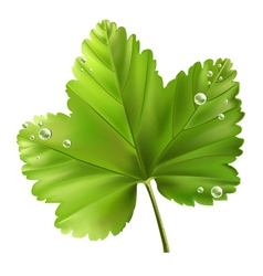 currant leaf vector image