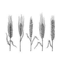 Different varieties of wheat drawn by hand vector