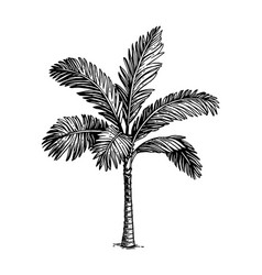 ink sketch palm tree vector image