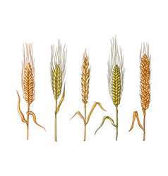 different varieties of wheat drawn by hand vector image