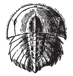 Horseshoe crab young vintage vector
