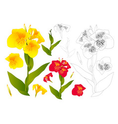 Yellow and red canna lily flower outline vector