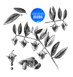 jojoba nuts branches and fruits vector image