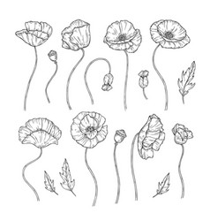 poppy sketch poppies ornament decor wall artwork vector image