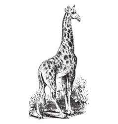 Giraffe vintage vector