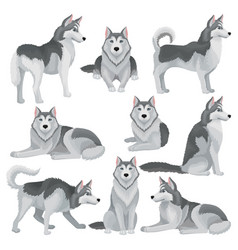 Flat set of siberian husky in different vector