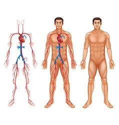 Male circulatory system vector image vector image