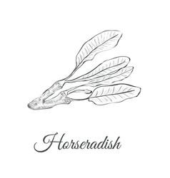horseradish sketch vector image vector image